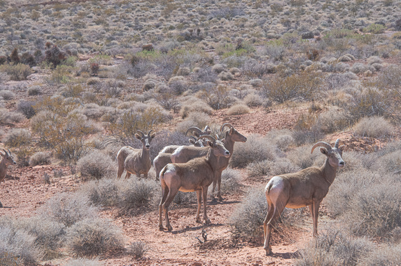 Red Canyon Bighorn Sheep
